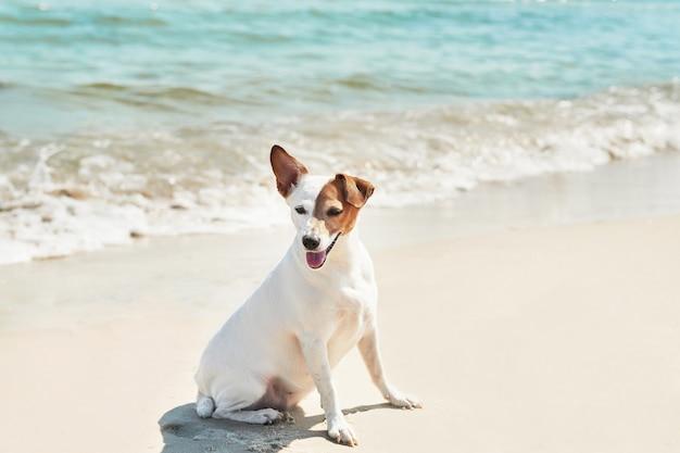 De terriër van russell van de hondhefboom op het strand
