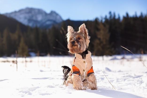 De terriër van yorkshire in de sneeuw die overall draagt