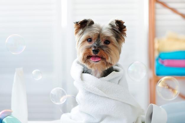 De terriër van yorkshire in een badhanddoek die tong toont