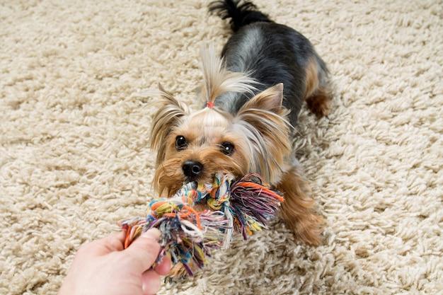 De terriër van yorkshire speelt met speelgoed op het tapijt