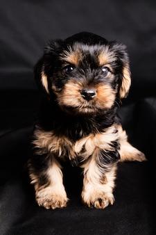 De terriër van yorkshire van het puppy in studioclose-up