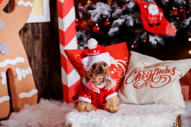 De terriërhond van yorkshire in kerstmiskleren in het feestelijk verfraaide binnenland.
