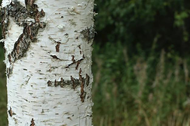 De textuur van de berkenboom met een uniek schorspatroon