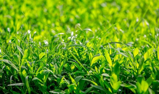 De textuur van een dicht groen gras voor achtergrond