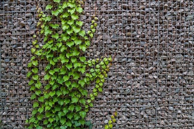 De textuur van een muur met kleine stenen en klimplant met donkergroene bladeren.