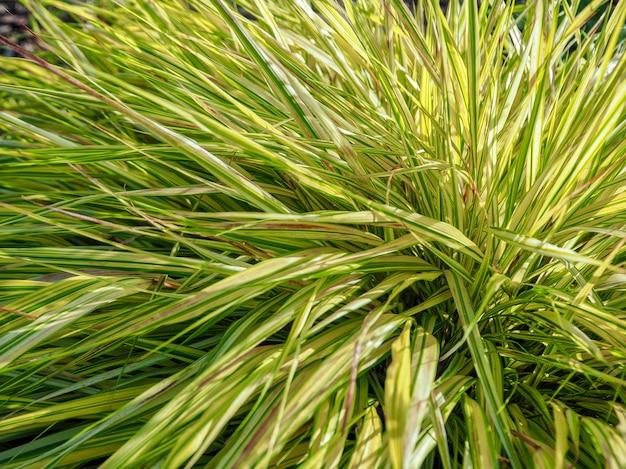 De textuur van groene bladeren van riet. bush groen bamboe. groene struik van een jonge bamboe plant.
