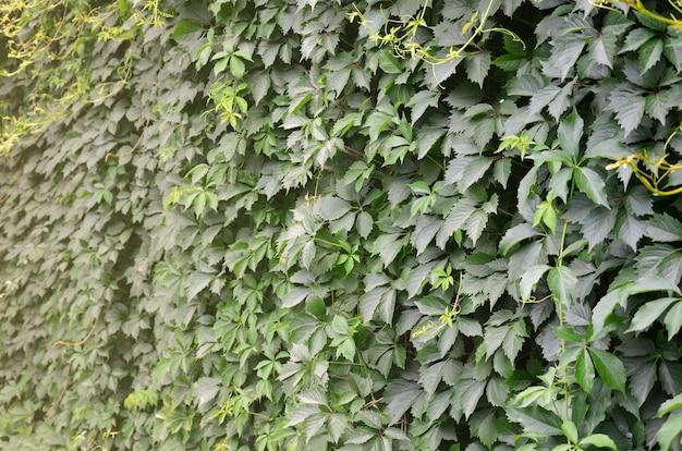 De textuur van heel wat bloeiende groene wijnstokken van wilde klimop die een concrete muur behandelen