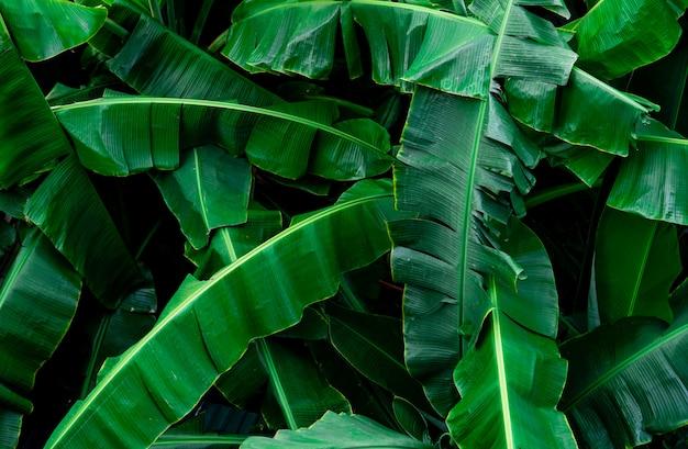 De textuurachtergrond van banaan groene bladeren. banaanblad in tropisch bos. groene bladeren met mooi