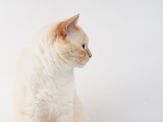 De thaise kat van het roompunt, witte kat met rode neus en staart op witte achtergrond
