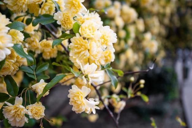 De thee nam bloem toe die in rozentuin bloeien
