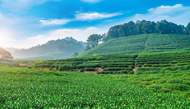 De theeaanplanting van longjing in chinese bergen