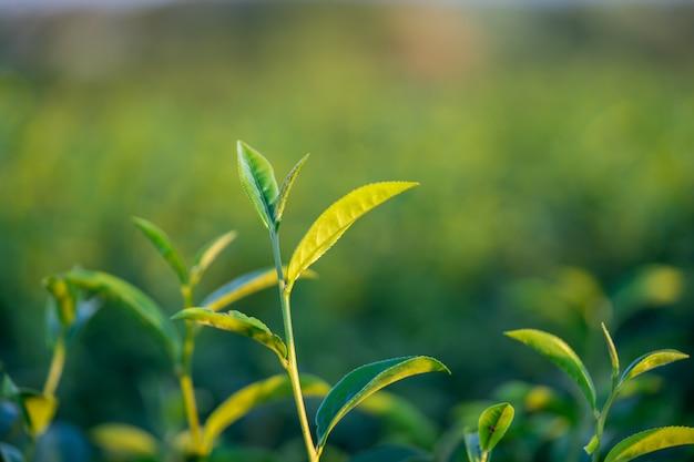 De theebladeren groeien in het midden van de theeplantage.