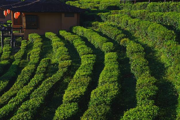 De theeplantage op het prachtige natuur groene gras park de bergen, zonlicht en achtergrond ontspannen concept in ban rak thai, mae hong son, thailand