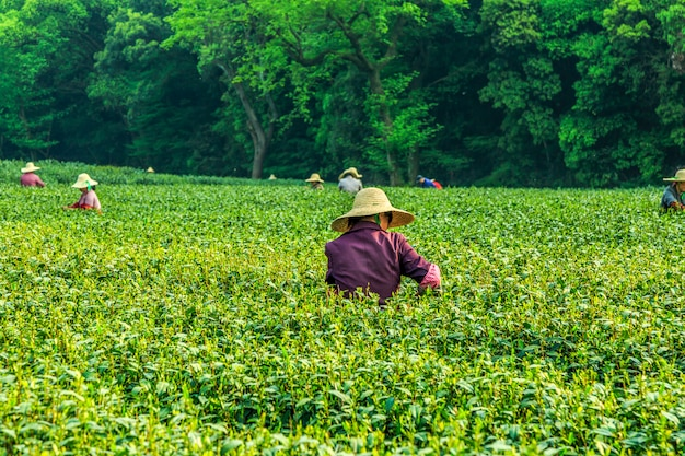 De theetuin van longjing, hangzhou, het westenmeer Premium Foto