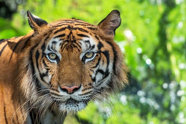 De tijger keek me aan, zijn ogen zien er eng uit.