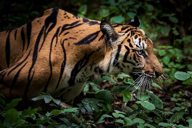 De tijger kruipt naar zijn prooi om op voedsel te jagen.