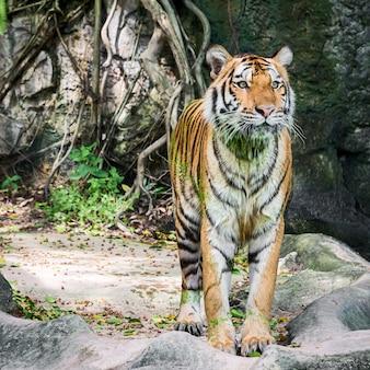 De tijger kwam uit de put, het lichaam zat vol met eendenkroos.