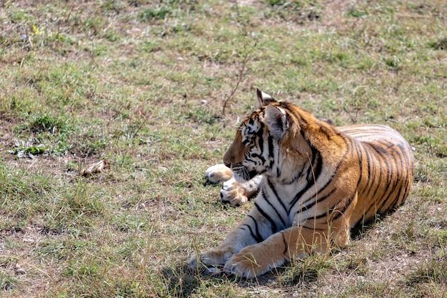 De tijger ligt op de grond, kijkt weg van de camera.
