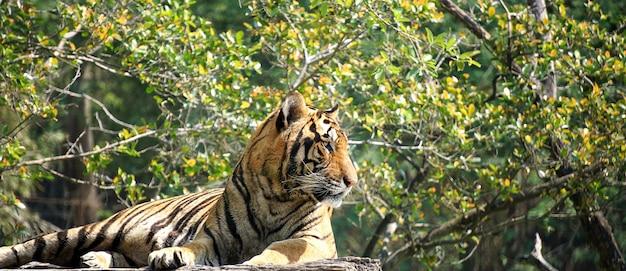 De tijger ligt op een houten logboek.
