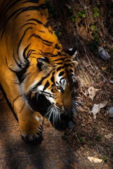 De tijger loopt voorzichtig.