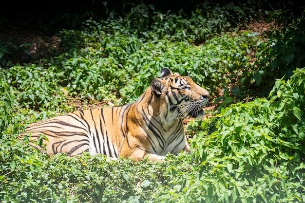 De tijger rust in het bos.