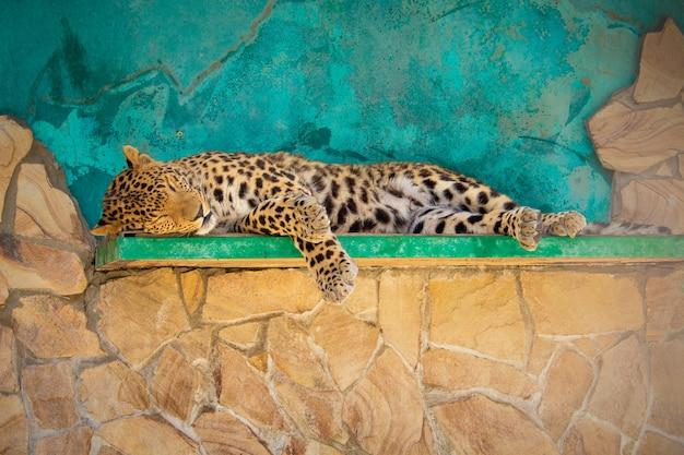 De tijger slaapt op de plank