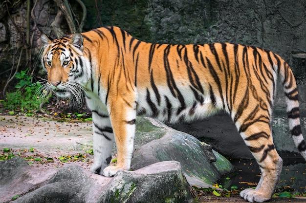 De tijger staat ergens met belangstelling naar te kijken.