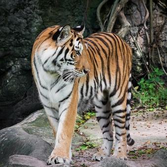 De tijger staat met belangstelling ergens naar te kijken.