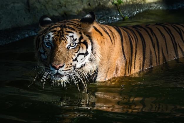 De tijger stond in de vijver en keek serieus naar iets.