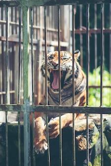 De tijger van bengalen in kooi, het wild in kooiconcept