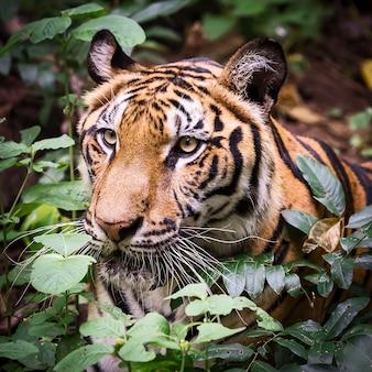 De tijger zoekt voedsel in het bos.