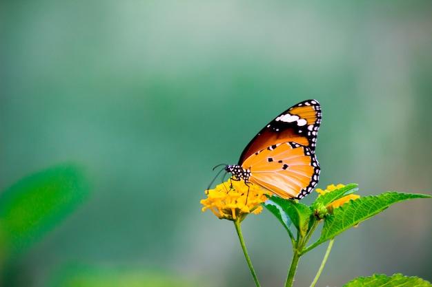 De tijgervlinder of ook bekend als danaus chrysippus-vlinder die op de bloemplanten rust