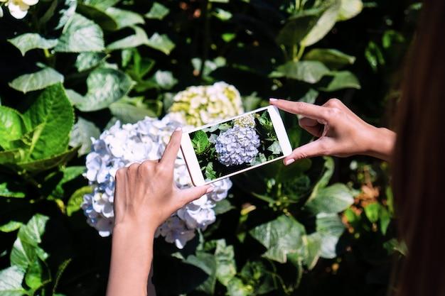 De toerist neemt een foto van hydrangea hortensiabloemen in de tuin, close-up.