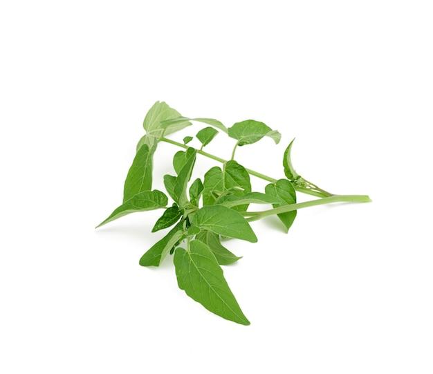 De tomatentak met groene bladeren en onontloken bloemen die op witte achtergrond worden geïsoleerd, sluit omhoog