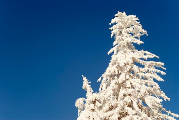 De top van een machtige dennenboom volledig bedekt met sneeuw tegen een helderblauwe lucht
