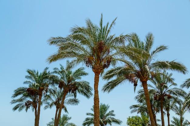 De toppen van de palm voor zonsondergang tegen de hemel. horizontale foto