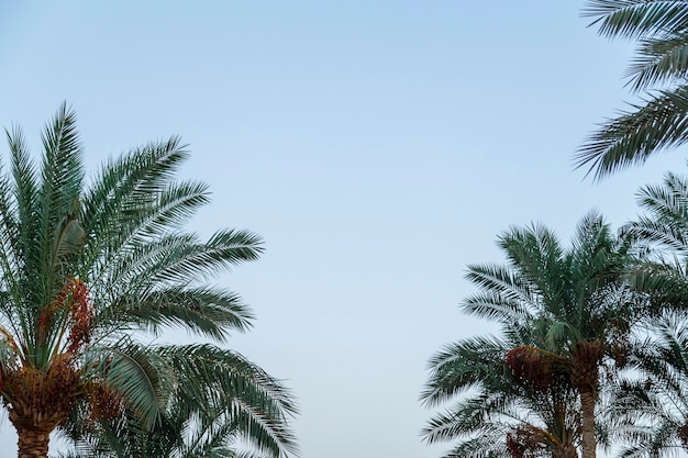De toppen van de palm voor zonsondergang tegen de hemel.