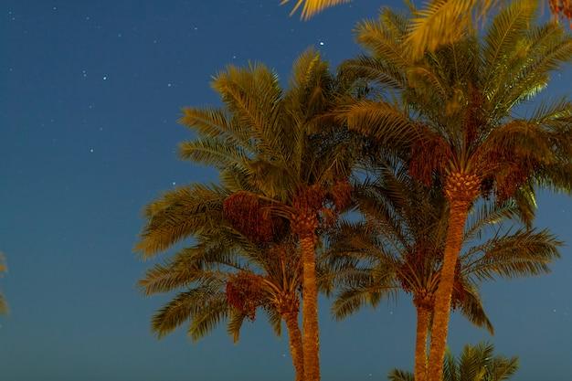 De toppen van de palmbomen tegen de achtergrond van de nachtelijke hemel