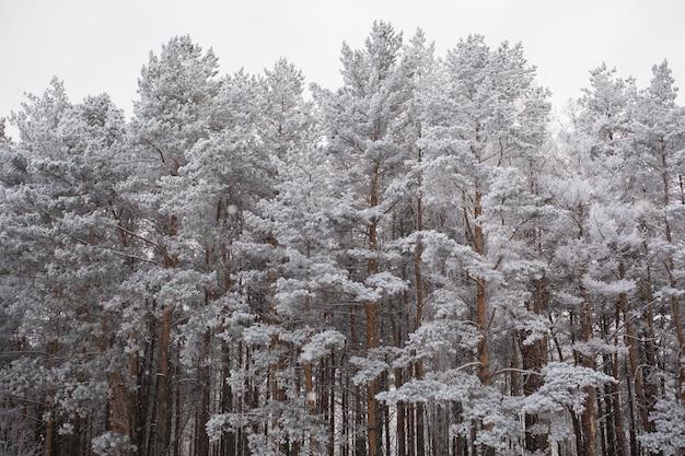 De toppen van de pijnbomen bedekt met sneeuw