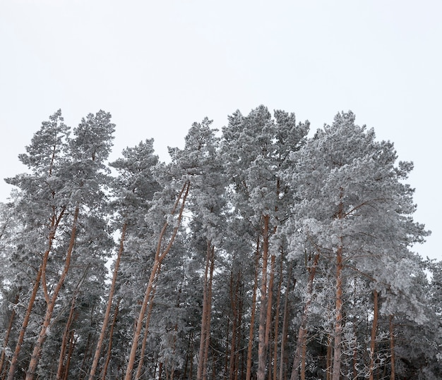 De toppen van doornige dennen bedekt met witte sneeuw en rijp tijdens de wintervorst, tegen de luchtnatuur