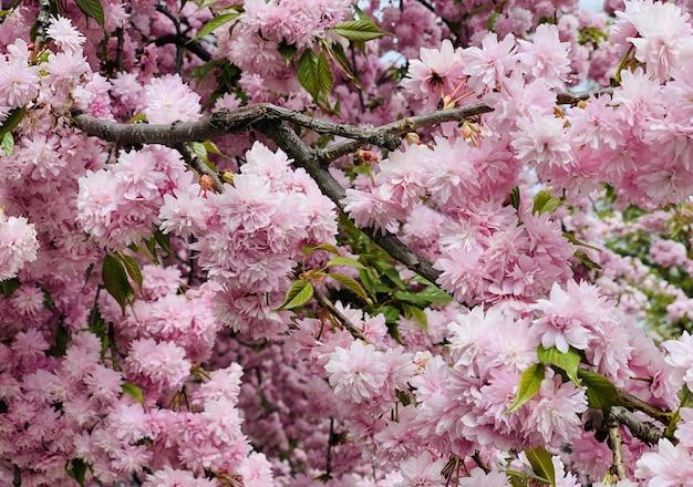 De tot bloei komende boom van de sakurakersen van prunusserrulata kanzan roze in de lente