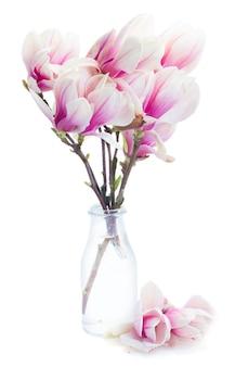 De tot bloei komende roze bloemen van de magnoliaboom in glasvaas tegen witte achtergrond