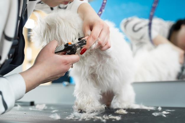 De trimmer knipt de klauwen van de witte hond met een schaar