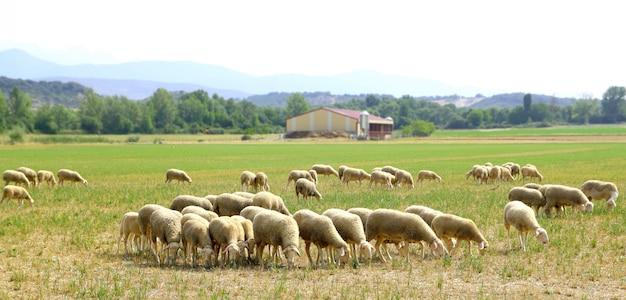 De troep weidende weide van schapen op grasgebied