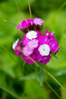 De tuin bloeit karmozijnrode flox op een groene vage achtergrond, selectieve nadruk