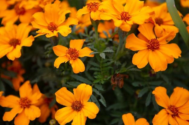 De tuin van feloranje bloemen bloeit prachtig in de herfsttuin