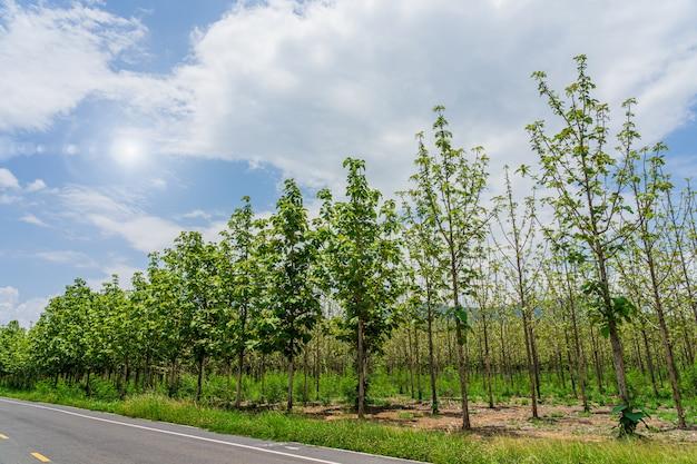 De tuin van teakbomen naast weg met milieu groene bladeren in thailand.