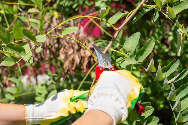 De tuinman snijdt boomtakken met een snoeischaar om de kroonboomverzorging te vormen