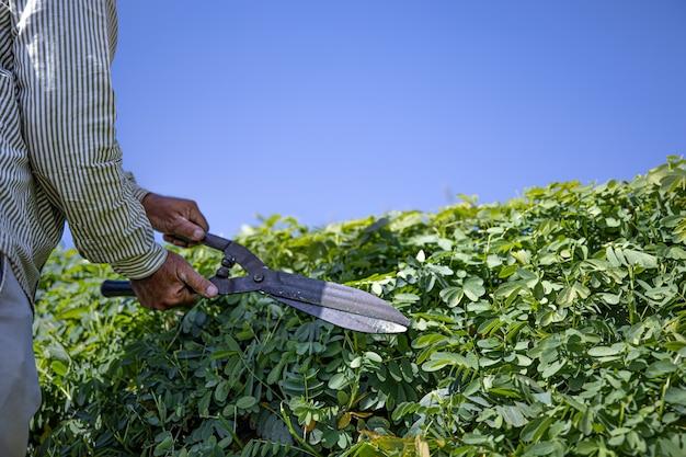 De tuinman snijdt de struik met een grote snoeischaar
