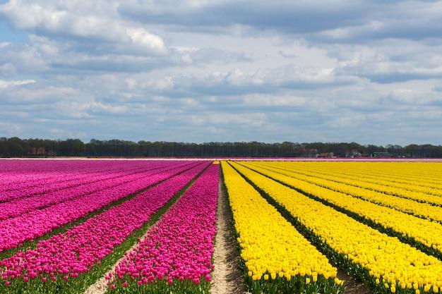 De tulpengebieden van de lente in holland, kleurrijke bloemen in nederland